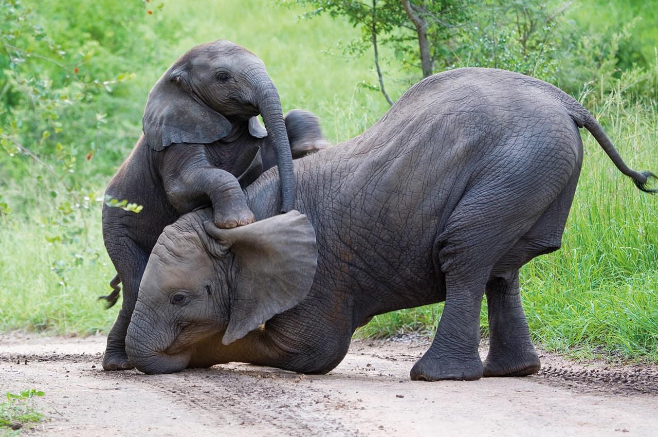 Elefantes filhotes