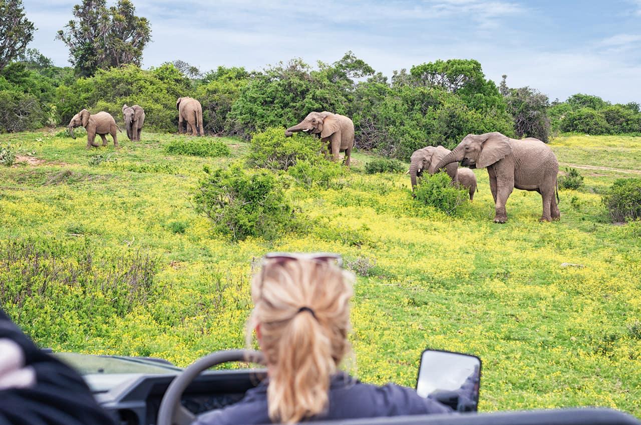 Elefantes safari