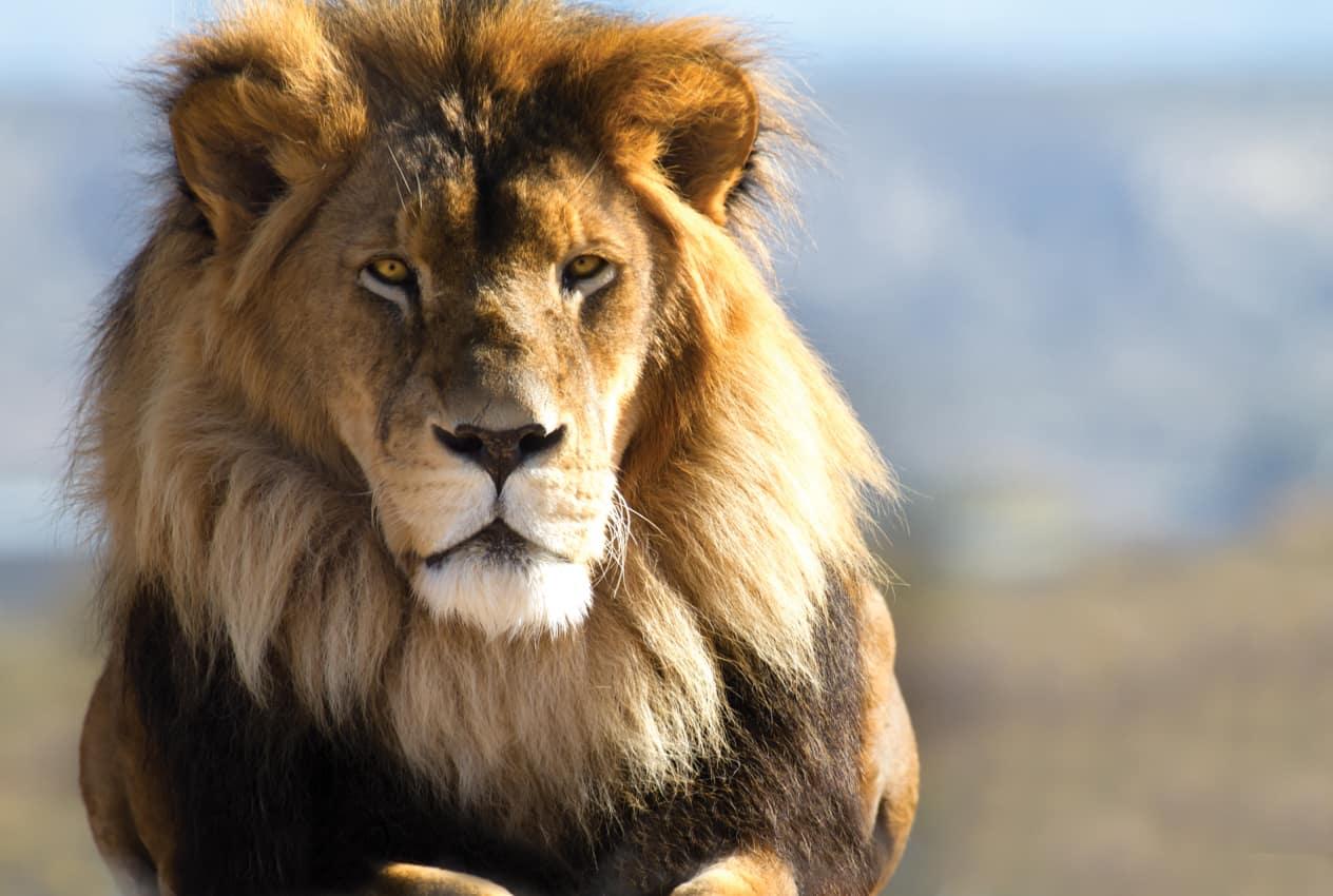 Leão África do Sul