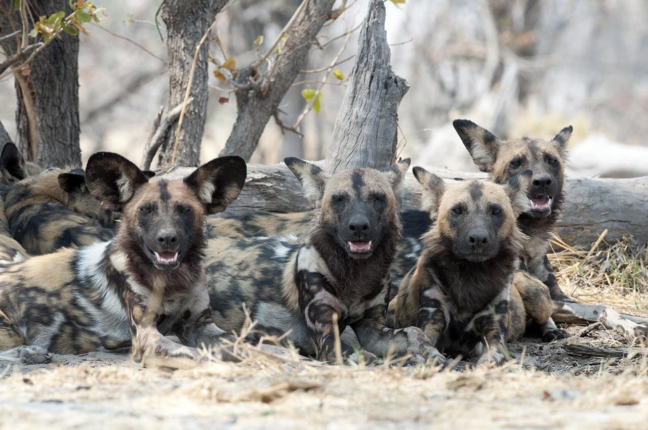 Cão selvagem em Botswana