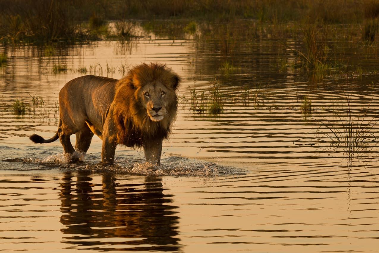 Leão Botswana