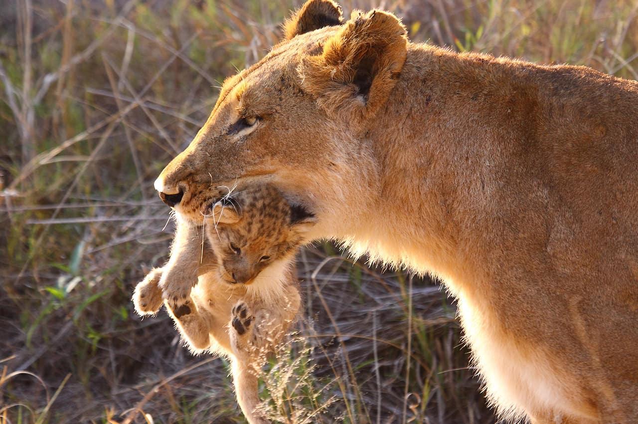 Leoa com filhote - Botswana