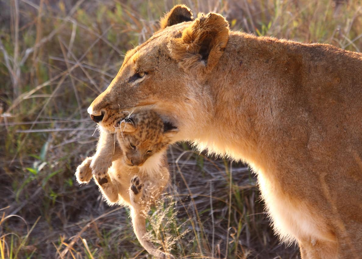 Leoa e filhote Botswana