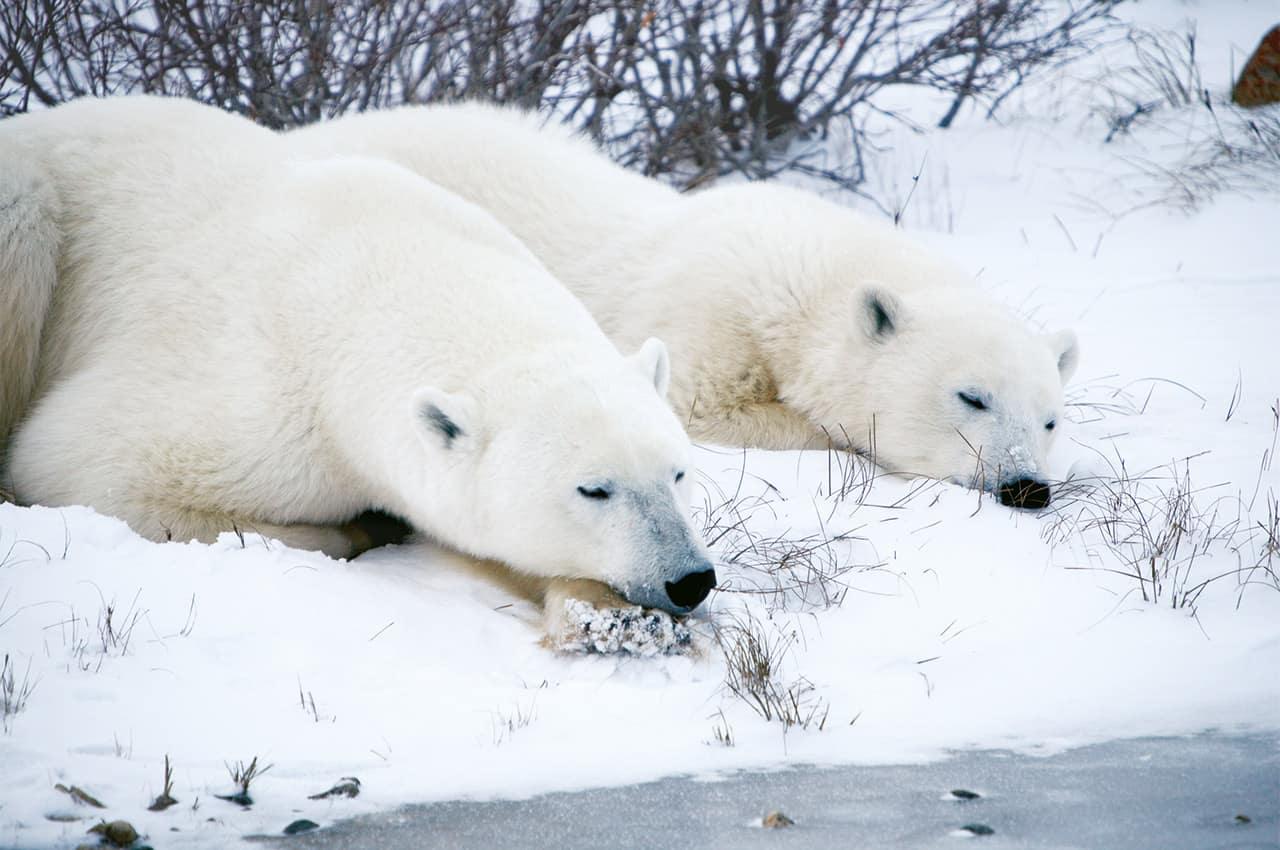 Churchill urso polar