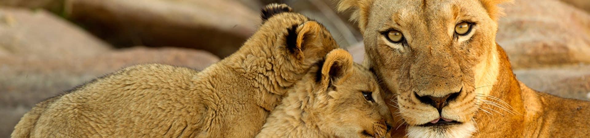 Familia leoa