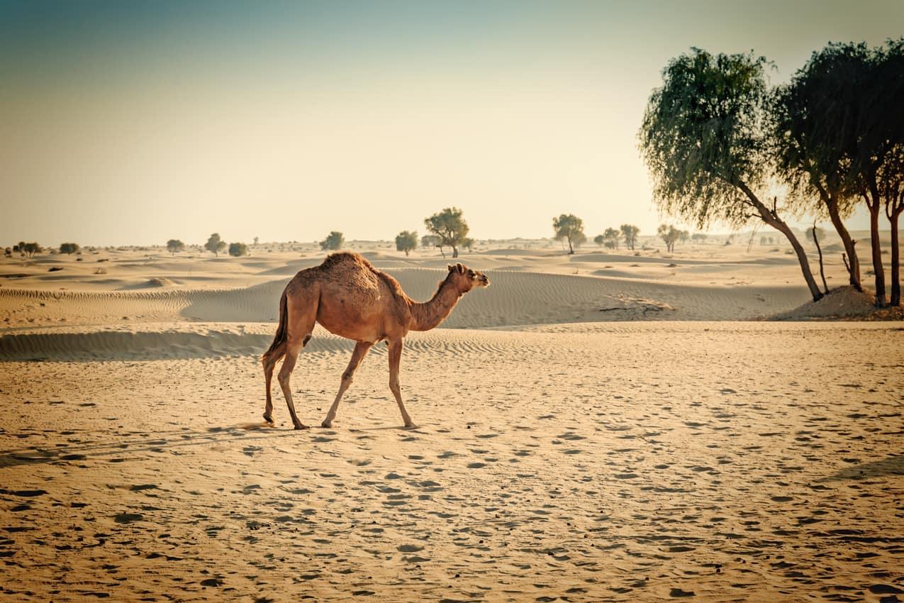 Camelo Deserto Dubai