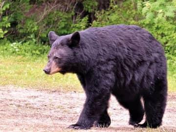 Observação de ursos no Spirit Bear Lodge
