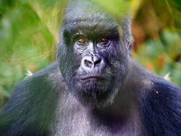 Encontro com Gorilas em Uganda