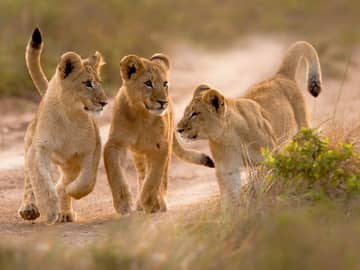 Leões filhotes - África do Sul