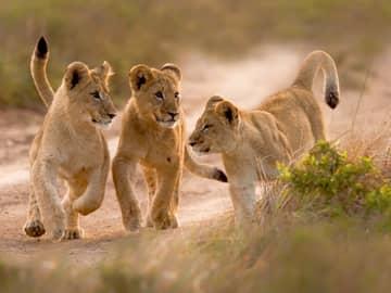 Leões filhotes, Safári, África do Sul