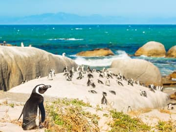 Pinguins cape town