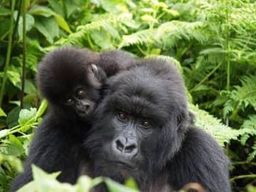 Ruanda gorila bebe