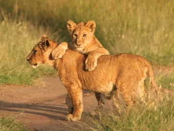 Vida selvagem: leões Tanzânia