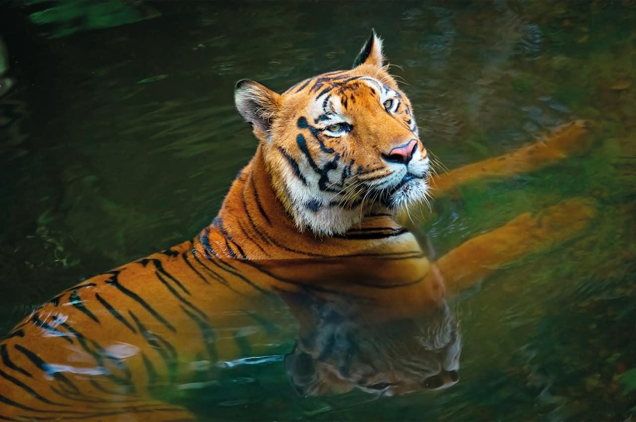 Tigre india