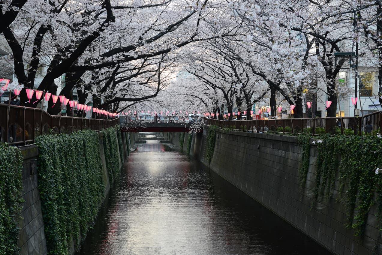 Cerejeira sakura Rio Meguro, Tóquio, Japão