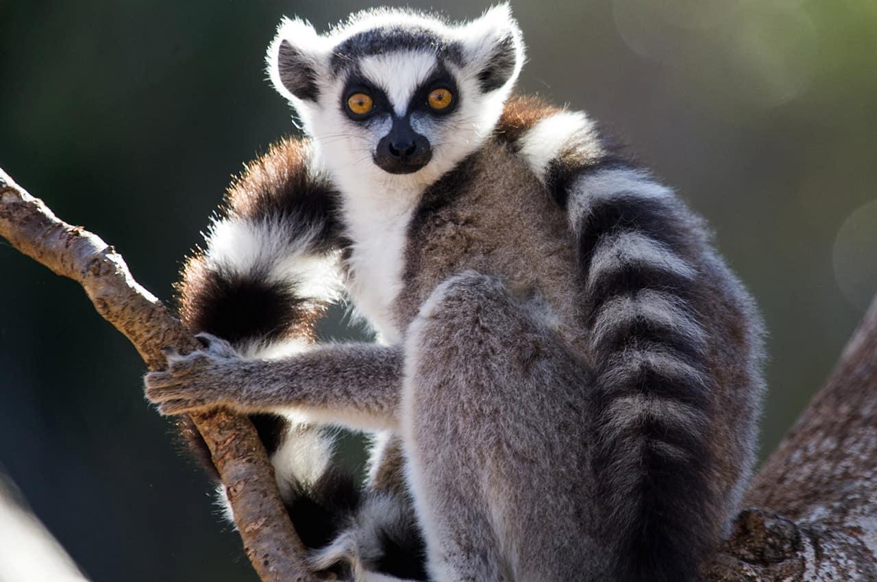 Lêmure - Vida selvagem em Madagascar