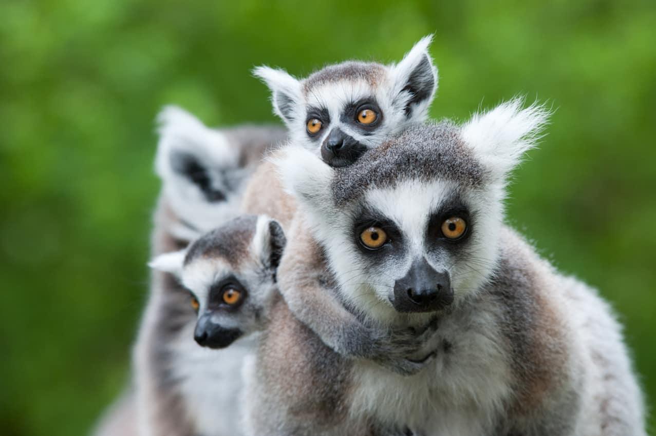Vida selvagem lêmures, Madagascar