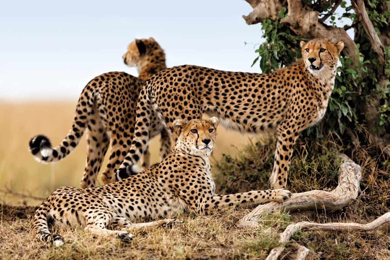 Safári ponto turístico Reserva Nacional Masai Mara Quênia