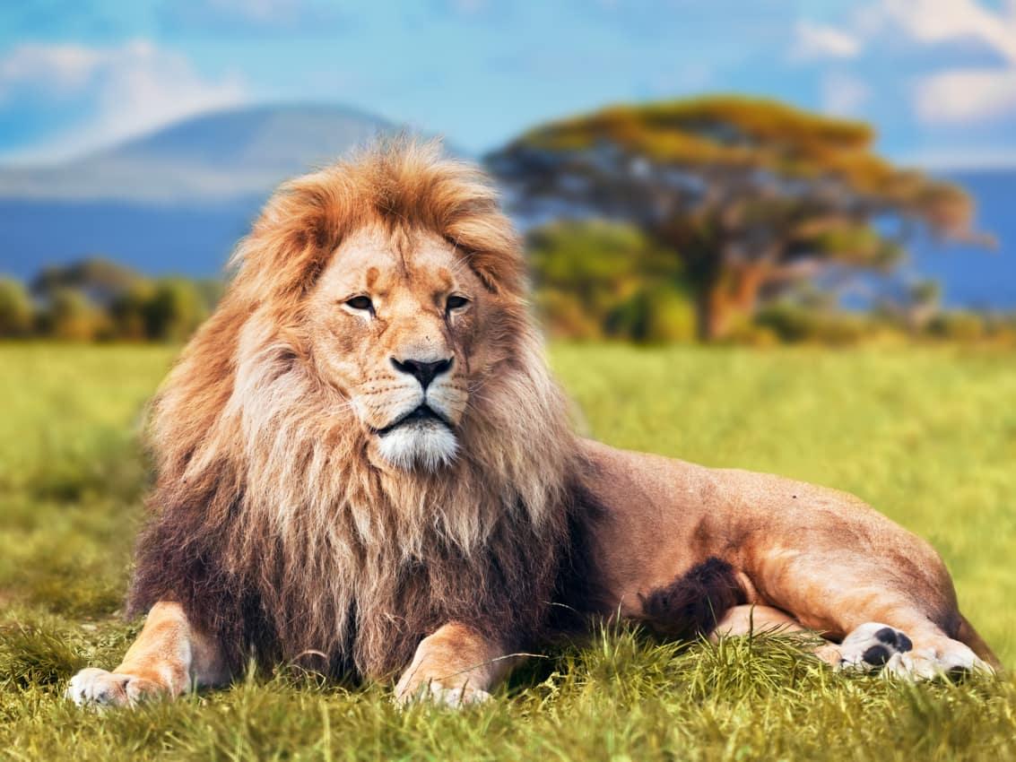 Safári vida selvagem paisagem turismo Quênia