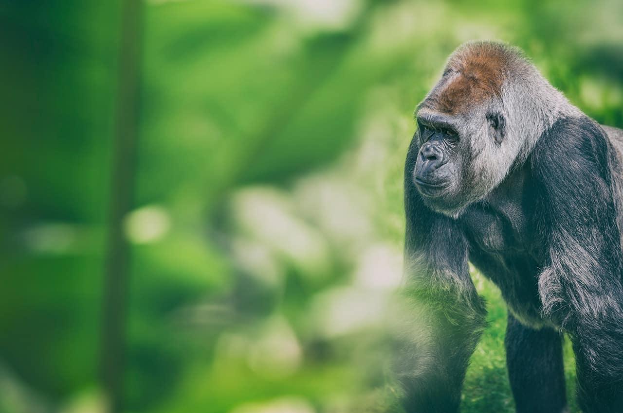 Ruanda gorila floresta