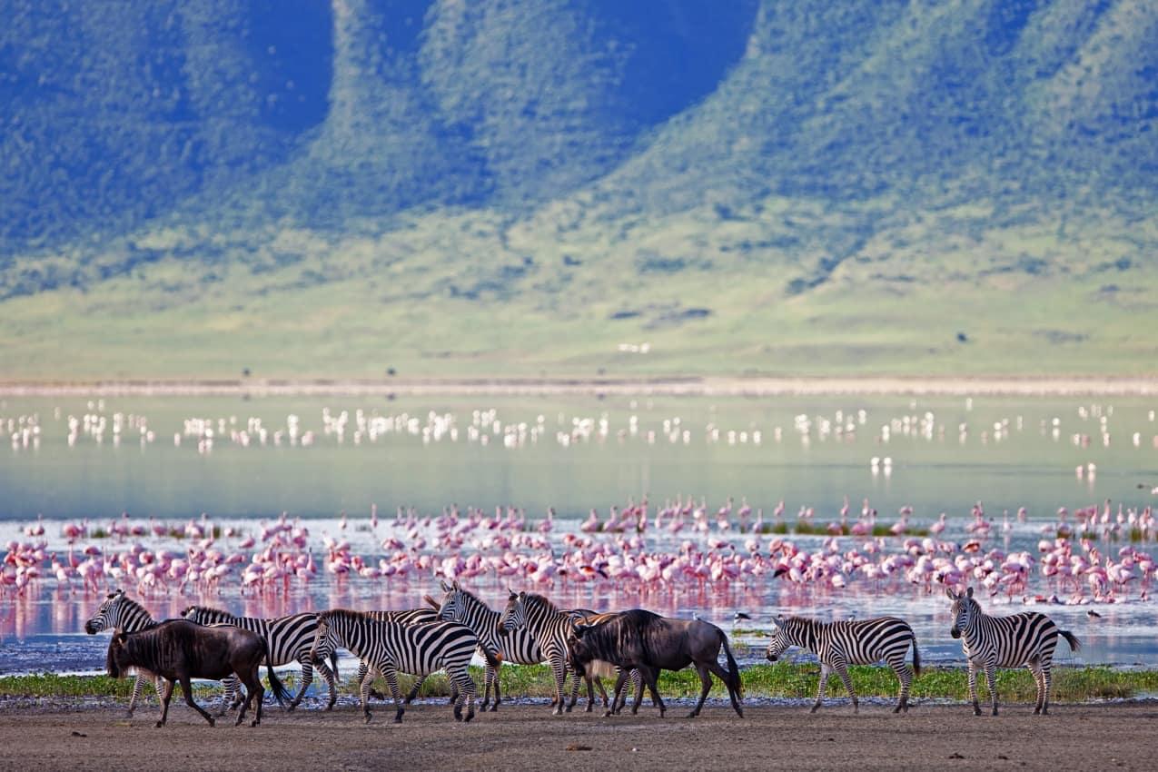 Zebras flamingos gnus, Cratera Ngorongoro, Tanzânia
