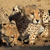 Chita bebendo água África do Sul