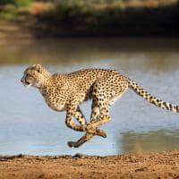 guepardo safari