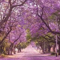 Jacaranda johanesburgo