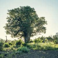 Kruger baoba
