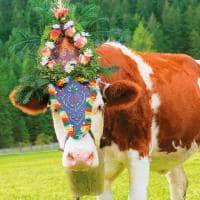 Vaca almabtrieb austria