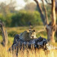 African bush camps khwai bush camp leoparto safari