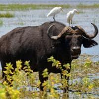 Bufalo Parque Nacional Chobe Botswana