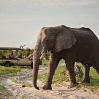 elefante safari belmond savute elephant lodge