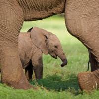 Filhote de Elefante em Botswana