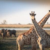 Girafas elefantes Botswana