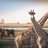 Girafas em Botswana