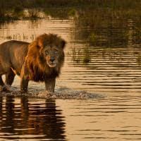 Leão em Botswana