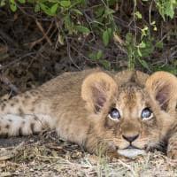 Filhote de leão