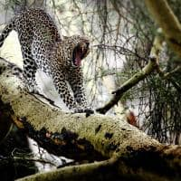 leopardo sob arvore