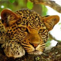 Leopardo em Botswana