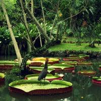 Amazonia vitoria regia
