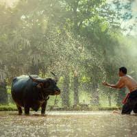 Fazendeiro em rio com búfalo