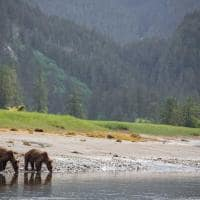 casal urso pardo