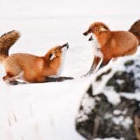 churchill raposa canada