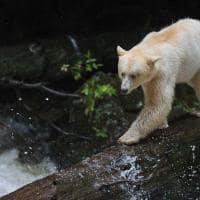 urso de kermode floresta