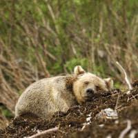 urso de kermode spirit lodge