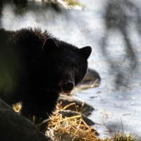 urso negro spirit bear lodge