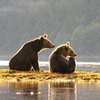 urso pardo spirit bear