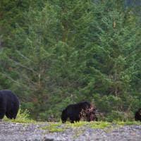 Canada_Whistler_ursos