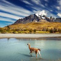 Guanaco Parque Nacional Torres del Paine Patagônia Chile
